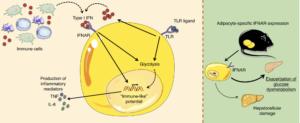 Type I IFN/IFNAR axis is a regulator of adipocyte-intrinsic inflammatory potential.